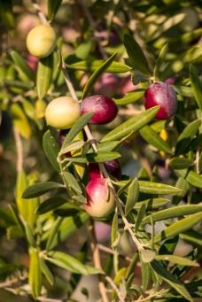 A Caltabellotta la varietà principale di olive coltivate per la produzione dell'olio extra-vergine è quella biancolilla. Essa presenta delle piccole drupe che variano la loro colorazione dal bianco, quando si formano, al lilla, al momento della maturazione. Proprio per questo mutamento di colori si deve il loro nome.
