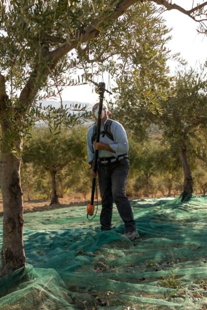 Con l'aiuto di bacchiatori elettrici, si raccolgono le olive, nelle assolate giornate autunnali siciliane.