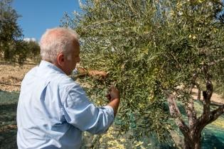 Nonostante l'avvento delle attrezzature, la raccolta a mano viene pur sempre effettuata per quelle olive più tenaci allo scuotimento.