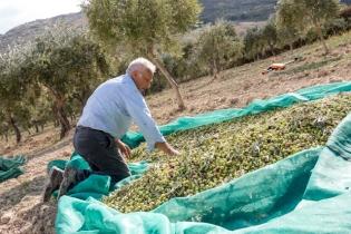 Le piccole olive, raccolte dall'albero, sono raggruppate nelle reti. Da qui vengono poi riposte nelle ceste oppure in sacchi di juta, aiutandosi con dei secchi.